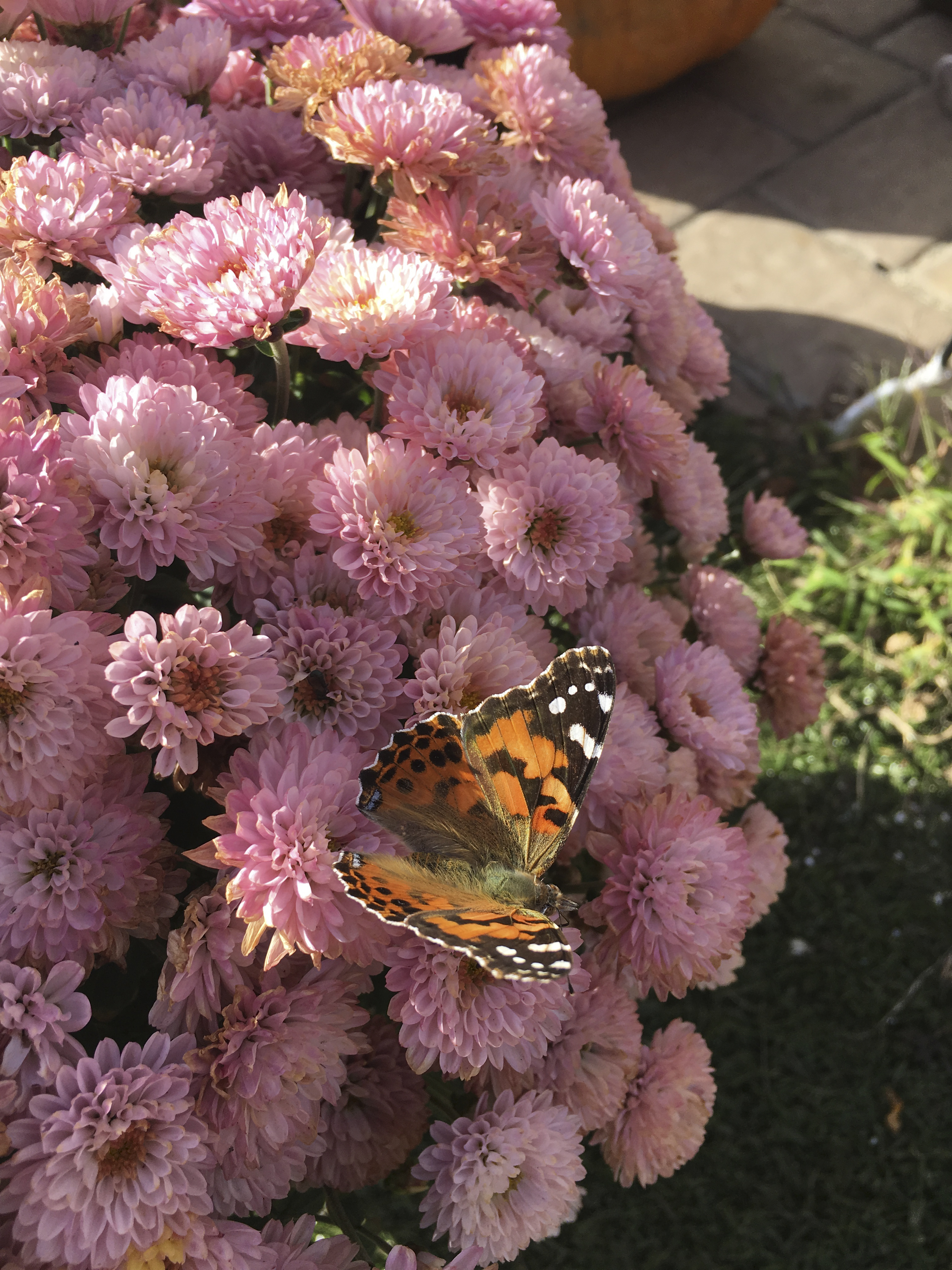 A painted lady butterfly sitting on a mum.