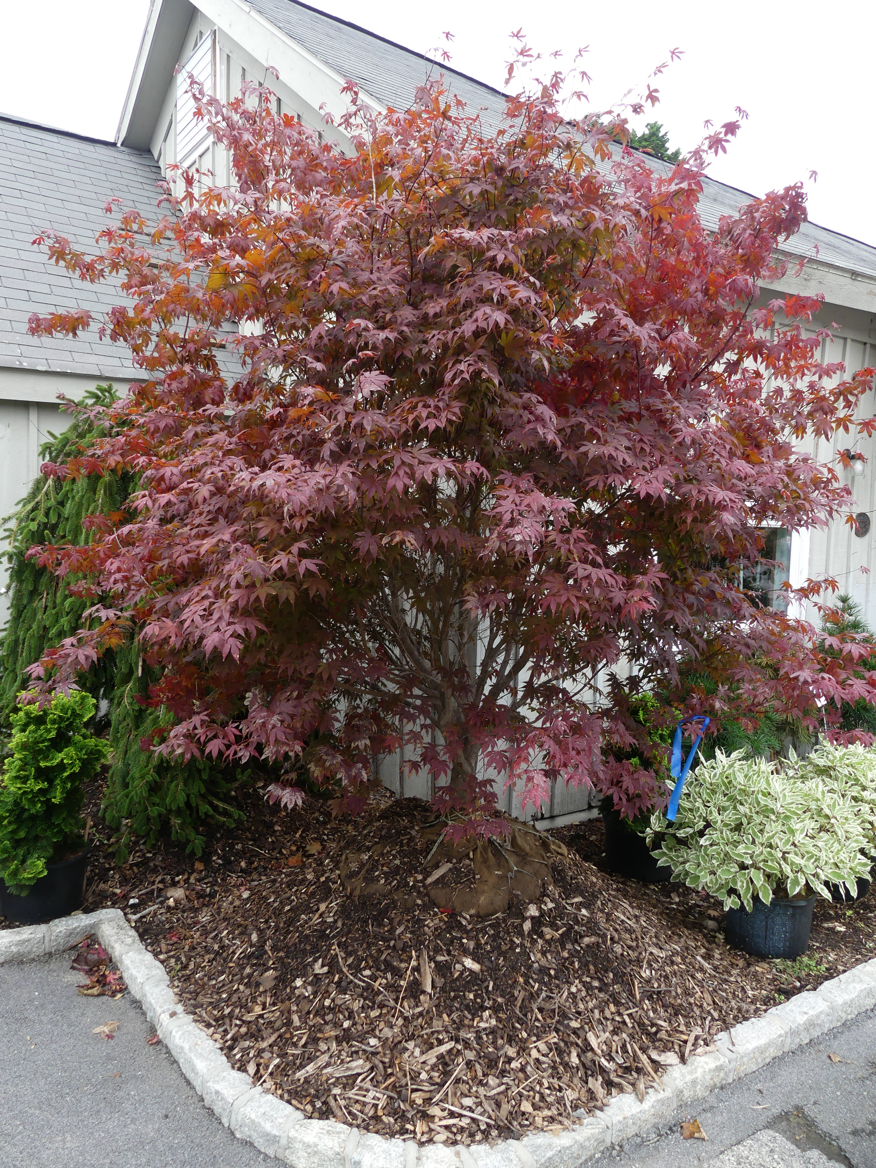 This Japanese maple was in front of a garden center waiting for a new owner. It's half its original price and looks like a nice specimen offering exquisite fall color as it will morph from red or orange and yellow as it gets colder. ANDREW MESSINGER