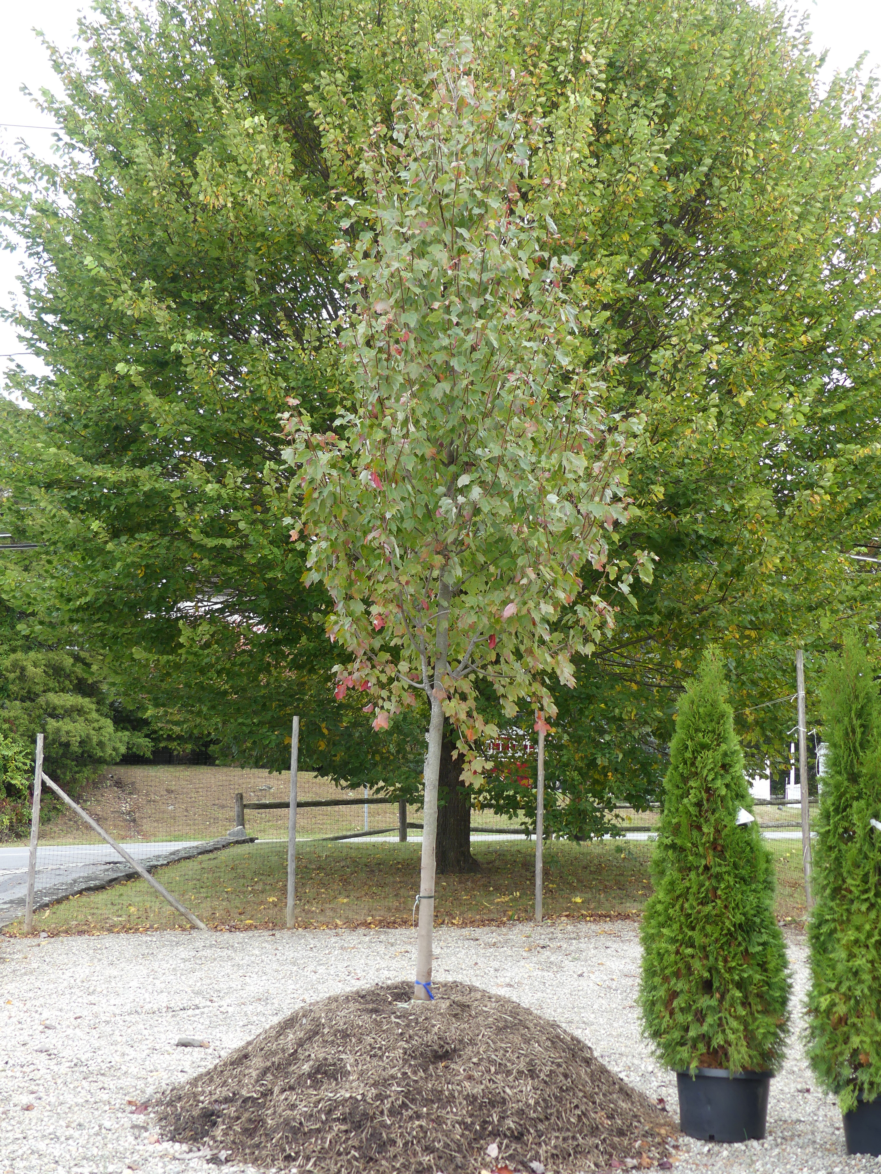 Remember that when buying an end-of-the-season tree you can bargain for an extra year of guarantee and even discounted planting. This maple could by yours for half the original $750 retail price. ANDREW MESSINGER
