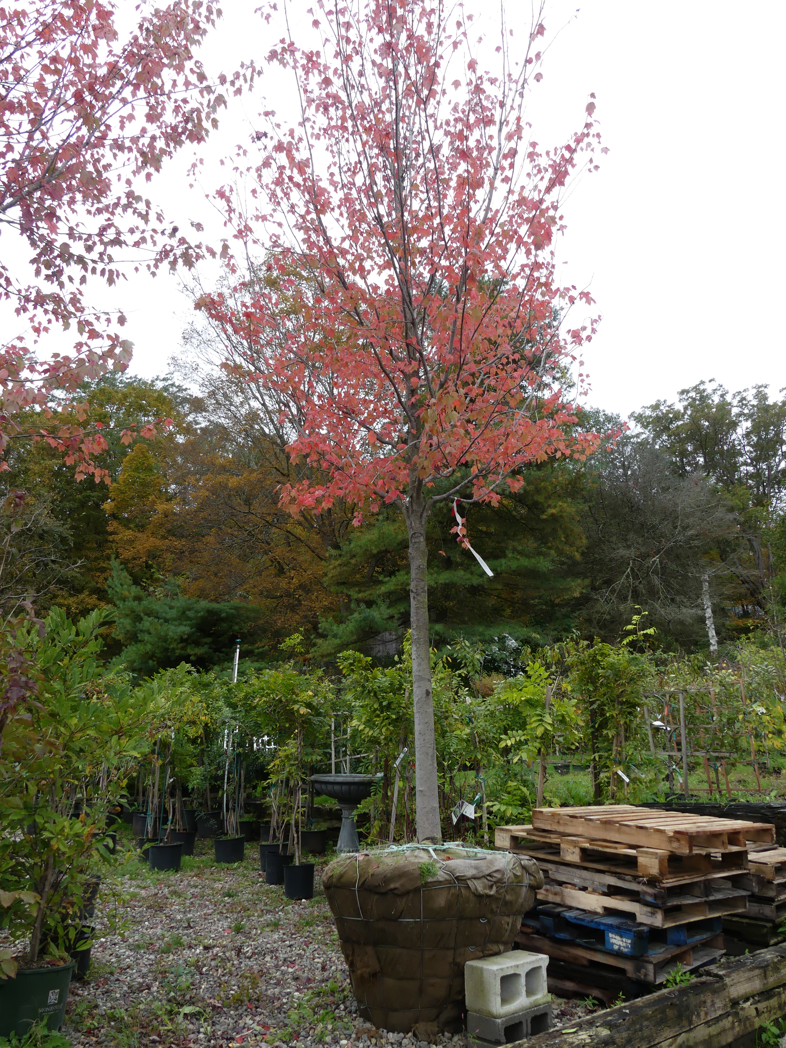 A sugar maple in a nursery waiting for a home. The nursery doesn't want to overwinter the tree, and the 15-foot tall specimen could be somebody's bargain. It will take this tree about two years to settle in, then it will grow 1 to 2 feet taller each year. ANDREW MESSINGER