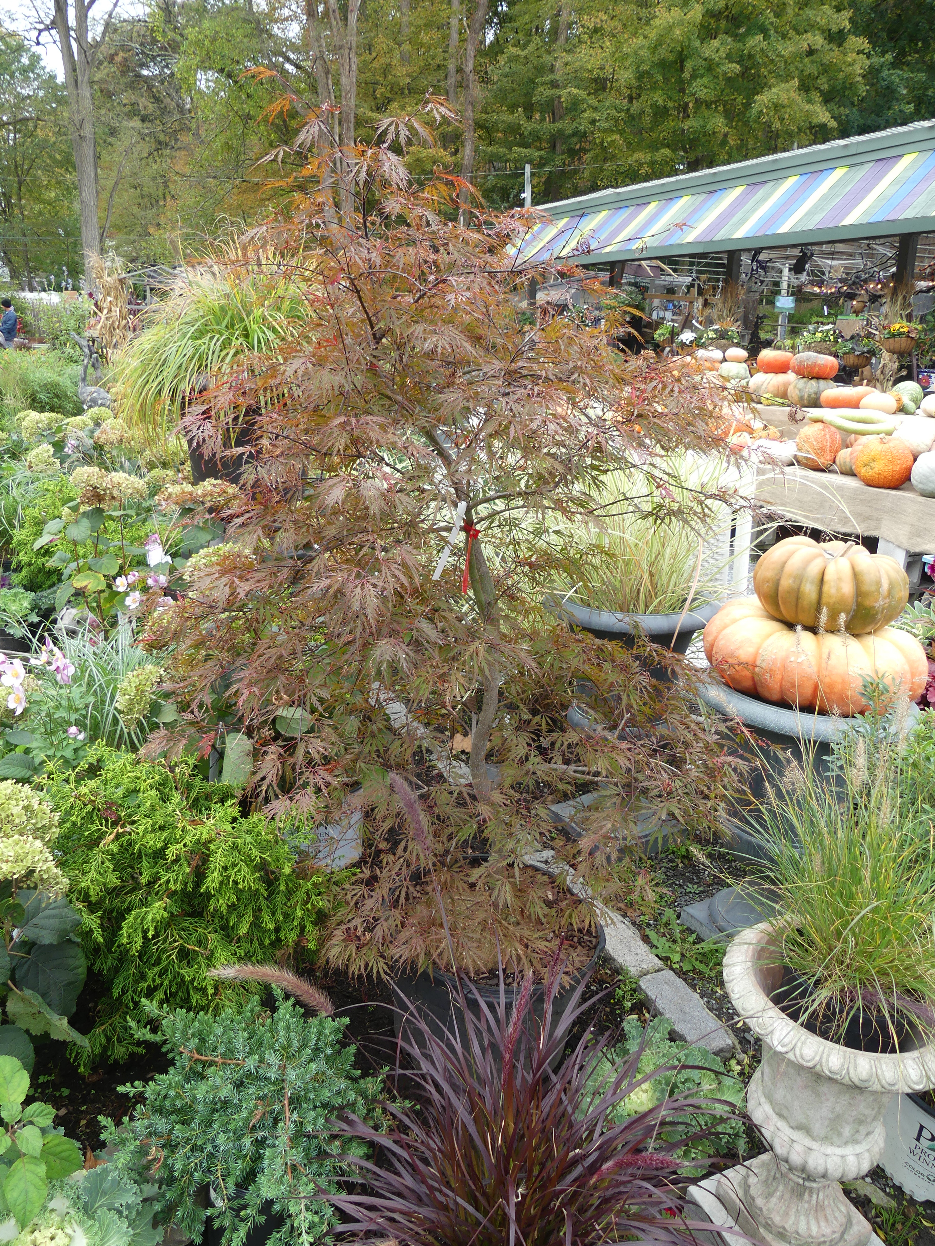 This threadleaf Japanese maple is marked for clearance. It's in a container as opposed to being balled and burlaped, but with proper planting and watering it will thrive in some lucky landscape. ANDREW MESSINGER