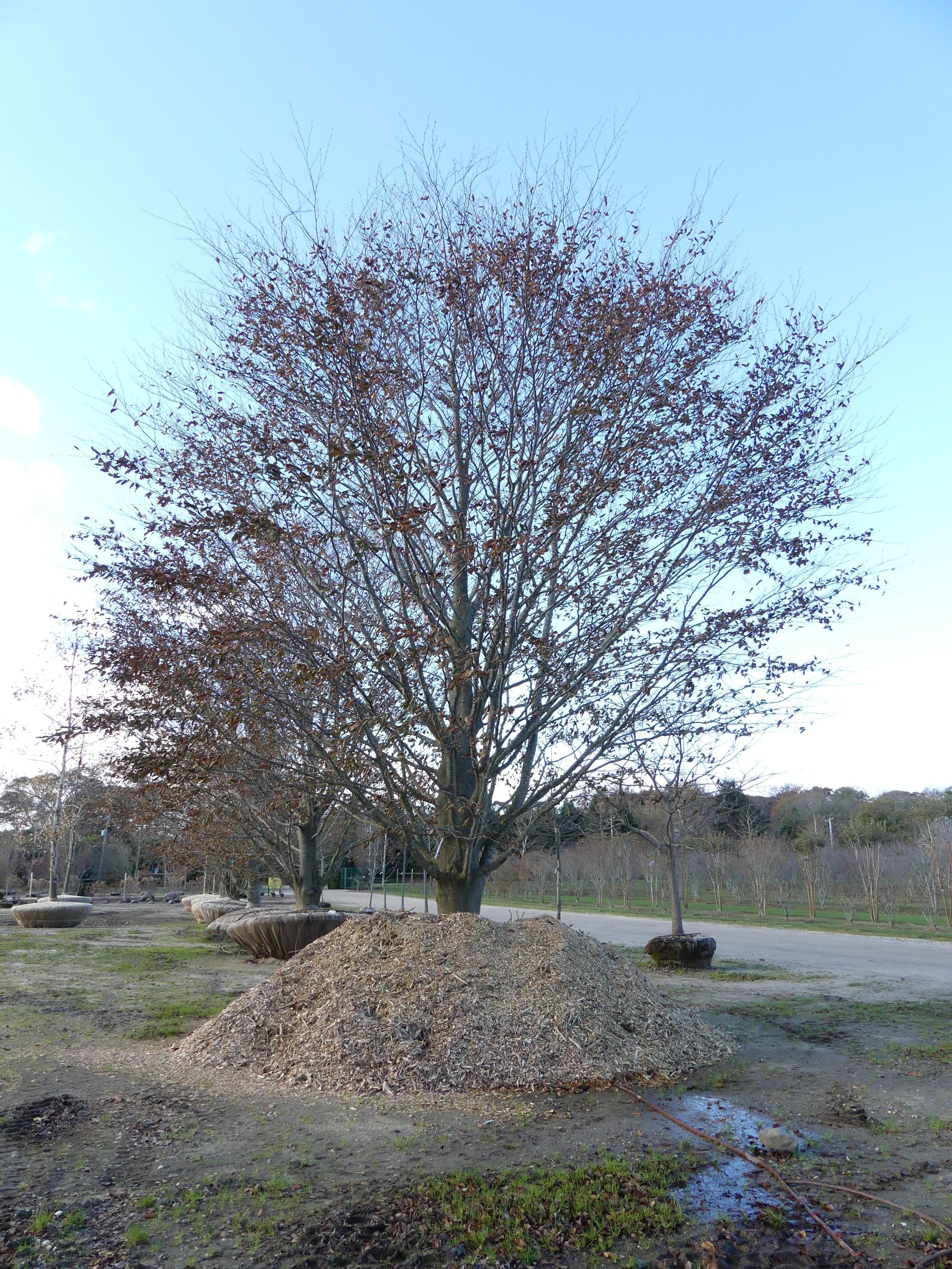 This copper beech was for sale at an East Hampton nursery at the end of the season two years ago. It sold for nearly $30,000 on sale plus delivery and planting. Yes, on sale. ANDREW MESSINGER