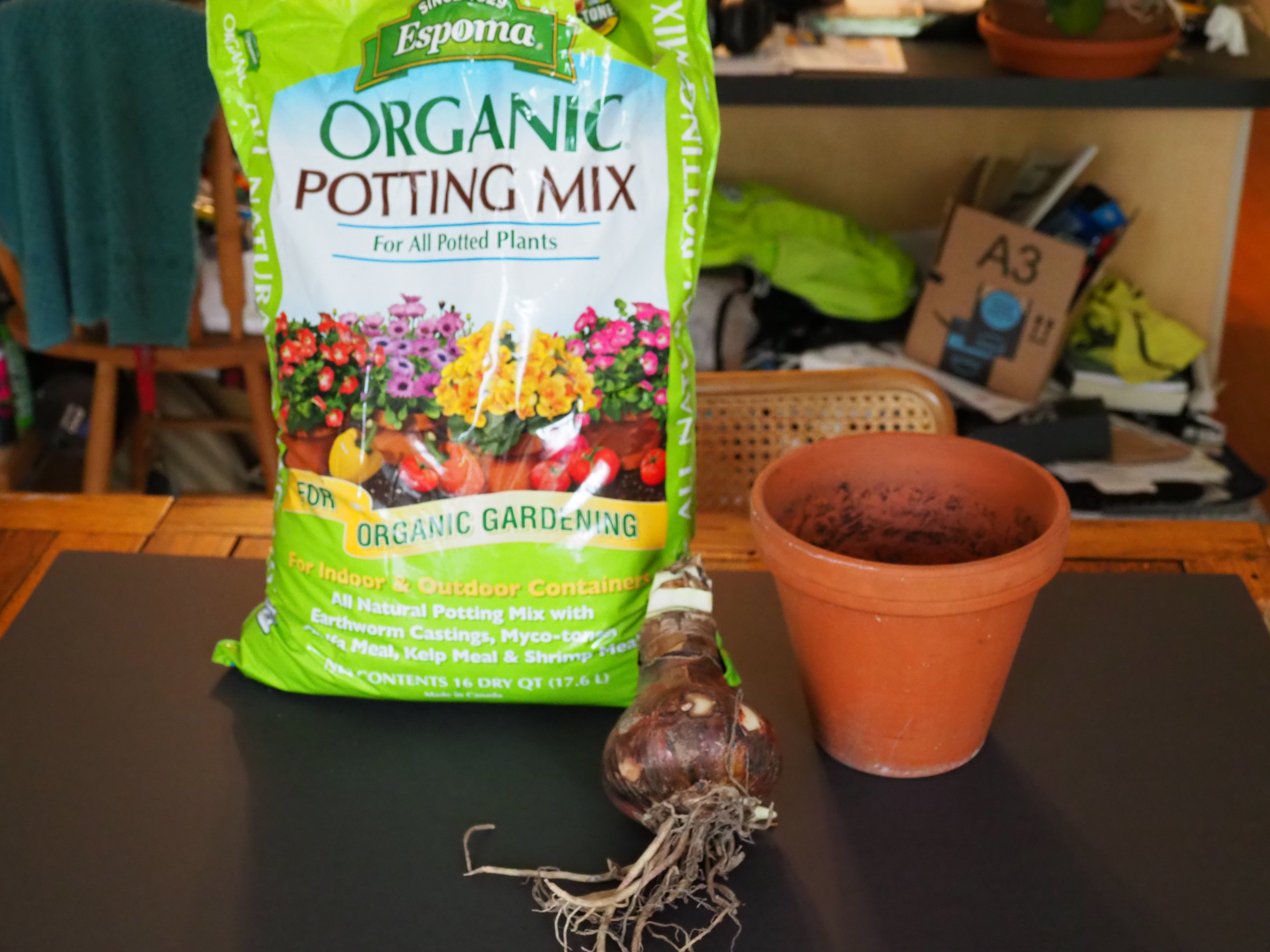 When potting an Amaryllis bulb use a brand-name peat-based potting soil, a clay pot to enhance drainage, and a top quality bulb. In this case the bulb is 5 inches in diameter and the pot is 7 inches in diameter. The pot diameter should not be more than 2 inches larger in diameter than the bulb. ANDREW MESSINGER