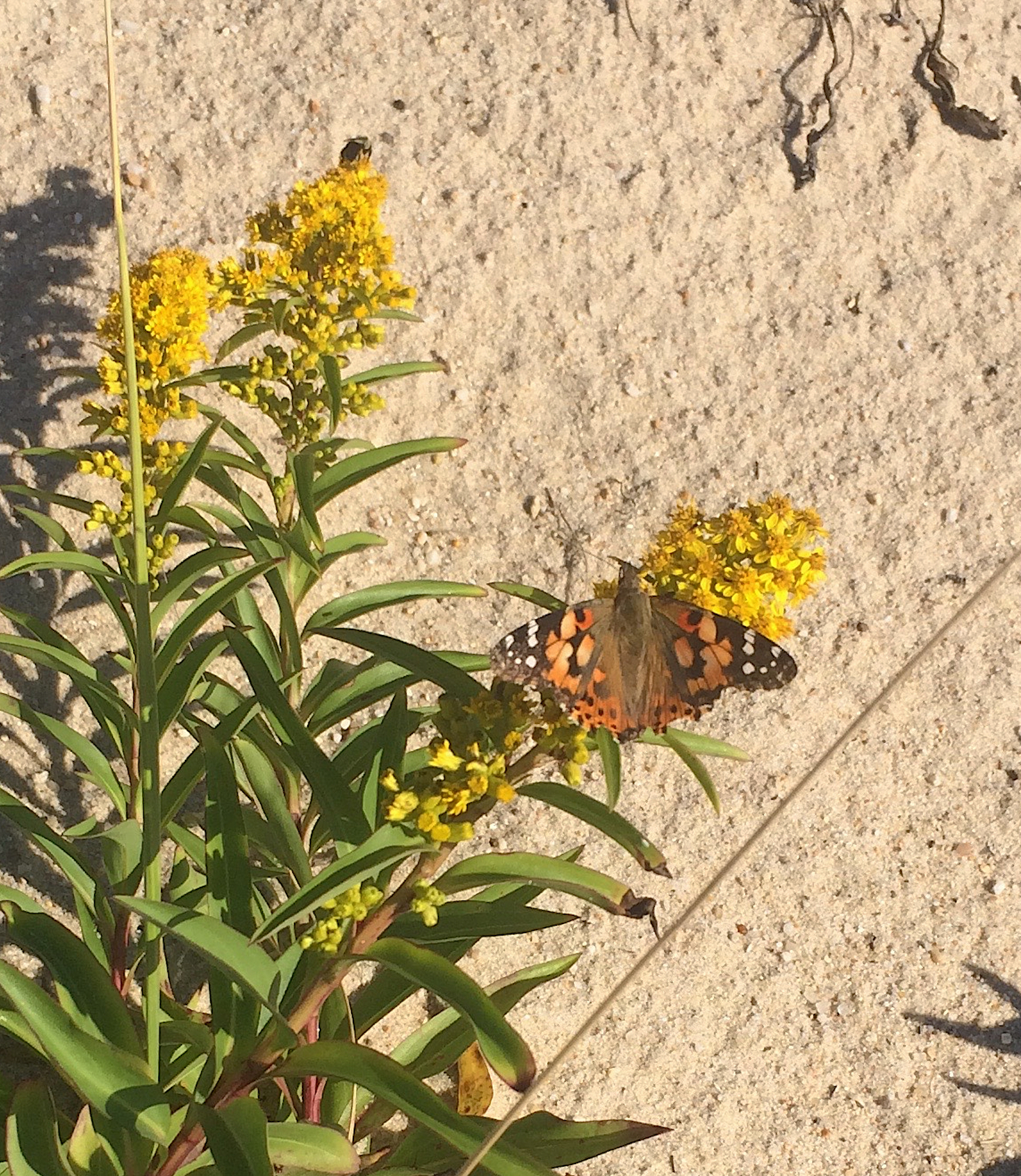 A painted lady butterfly feeding on seaside goldenrod nectar.