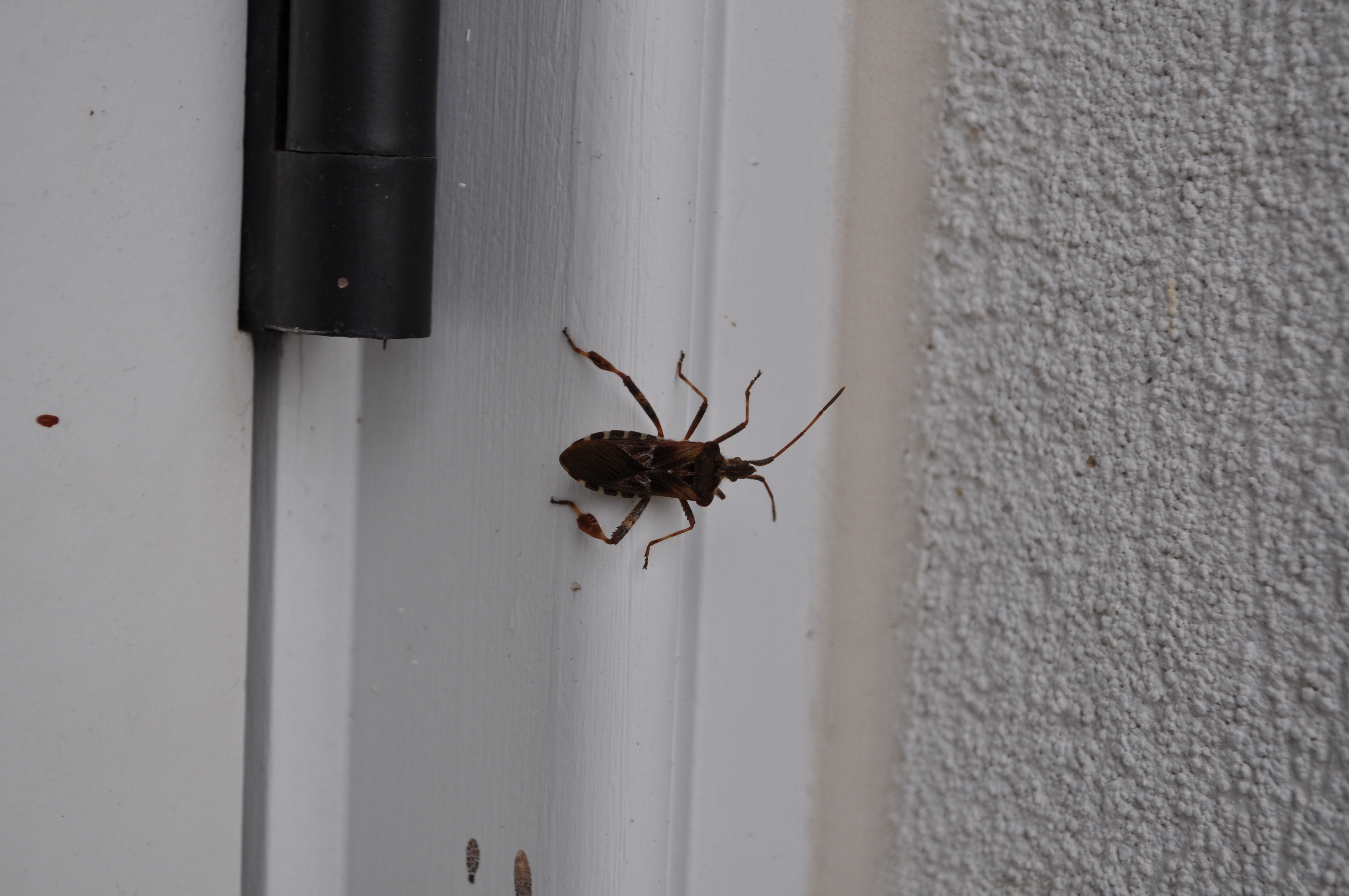 Spotted near a gap in a doorjamb, this western conifer seed bug shows a characteristic 'paddle' on its rear legs that are not present on the rounder marmorated stink bug. ANDREW MESSINGER