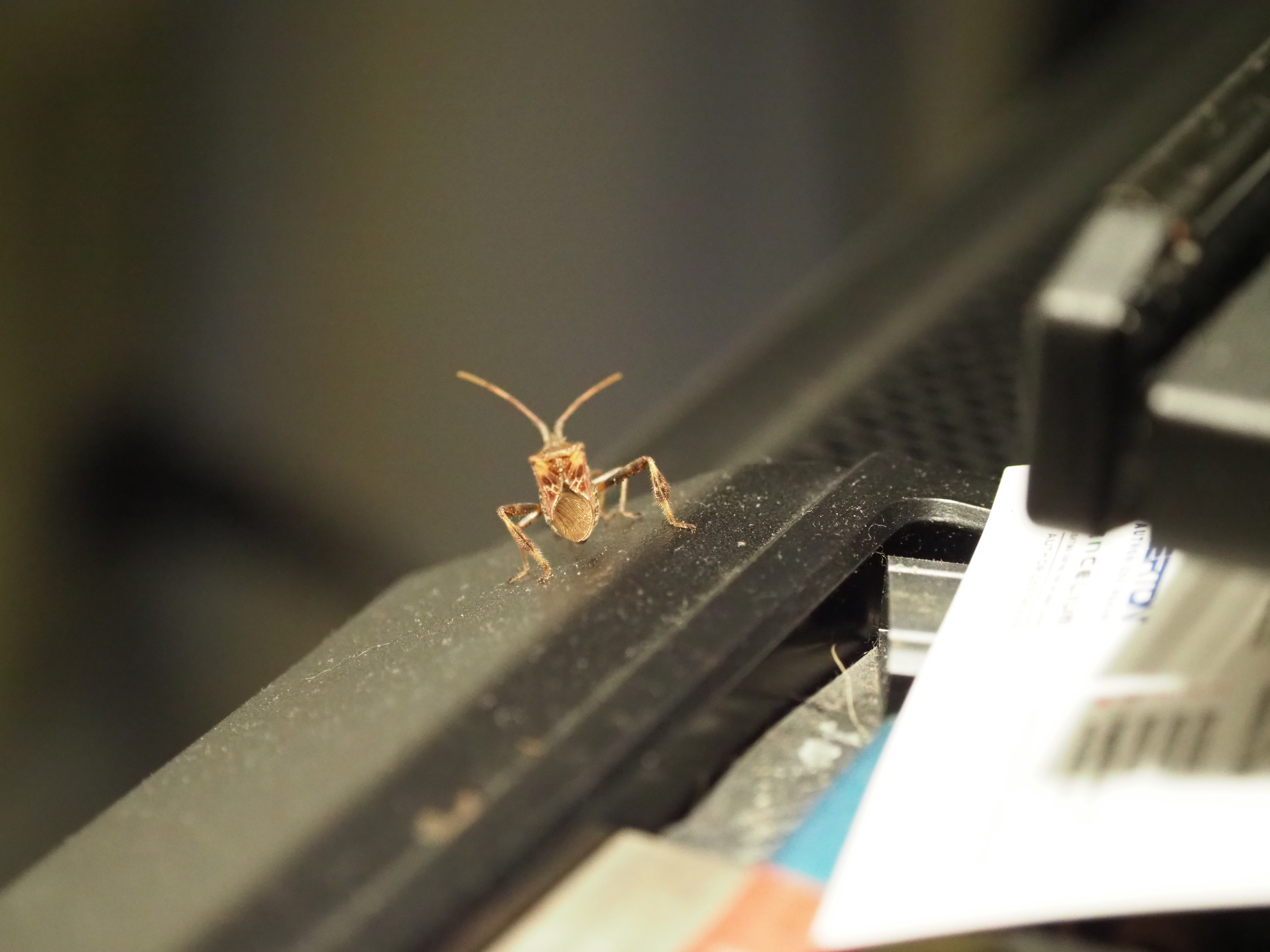 As I was writing this week's column this western conifer seed bug landed on the case of my computer. One of our fall invaders, it emits an evergreen to turpentine odor when crushed but causes no damage when it gets indoors.