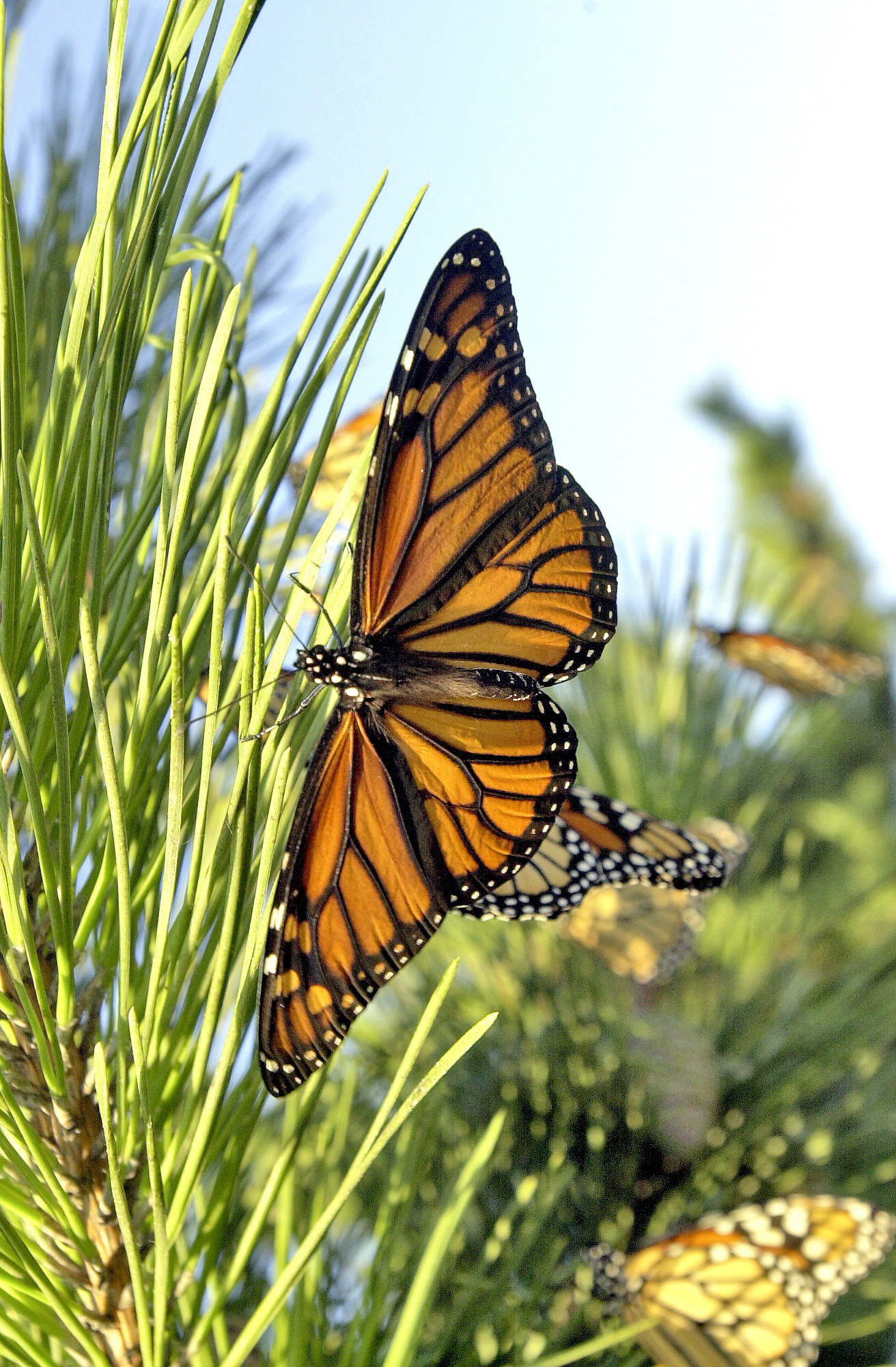 The results of a recent study published this year cast some doubts and notes of caution on the practice of raising monarchs in captivity for later release into the wild.