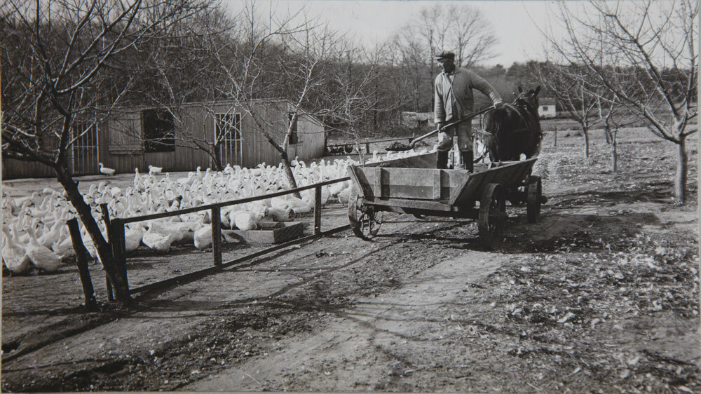 Shoveling feed from horsedrawn food wagon to food trays, R. A. Tuttle's Farm, Center Moriches, 1920. COURTESY NATIONAL ARCHIVES