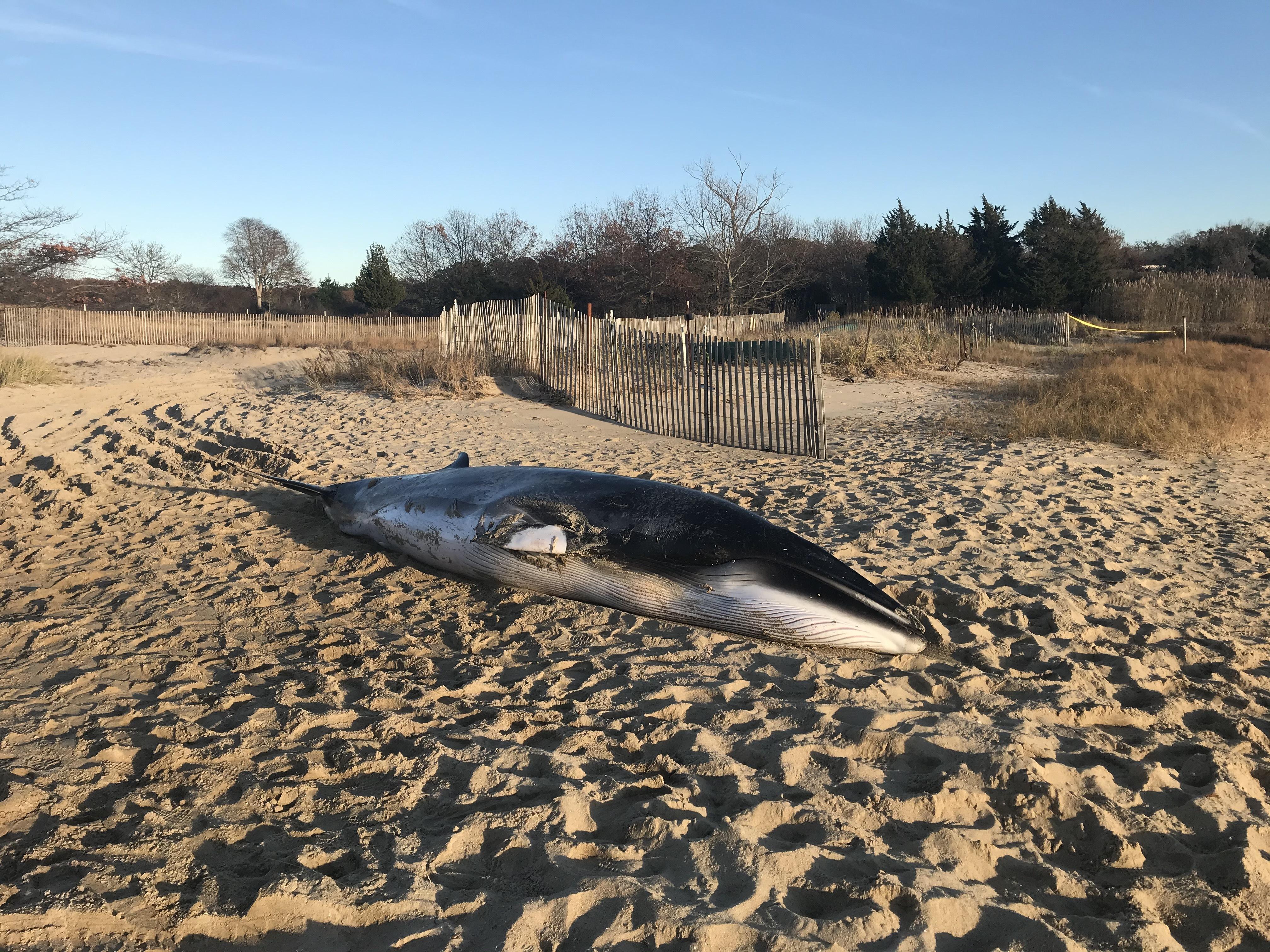 A female minke whale, 16-feet in length, washed up in Northwest Creek on Thursday.  ELIZABETH VESPE