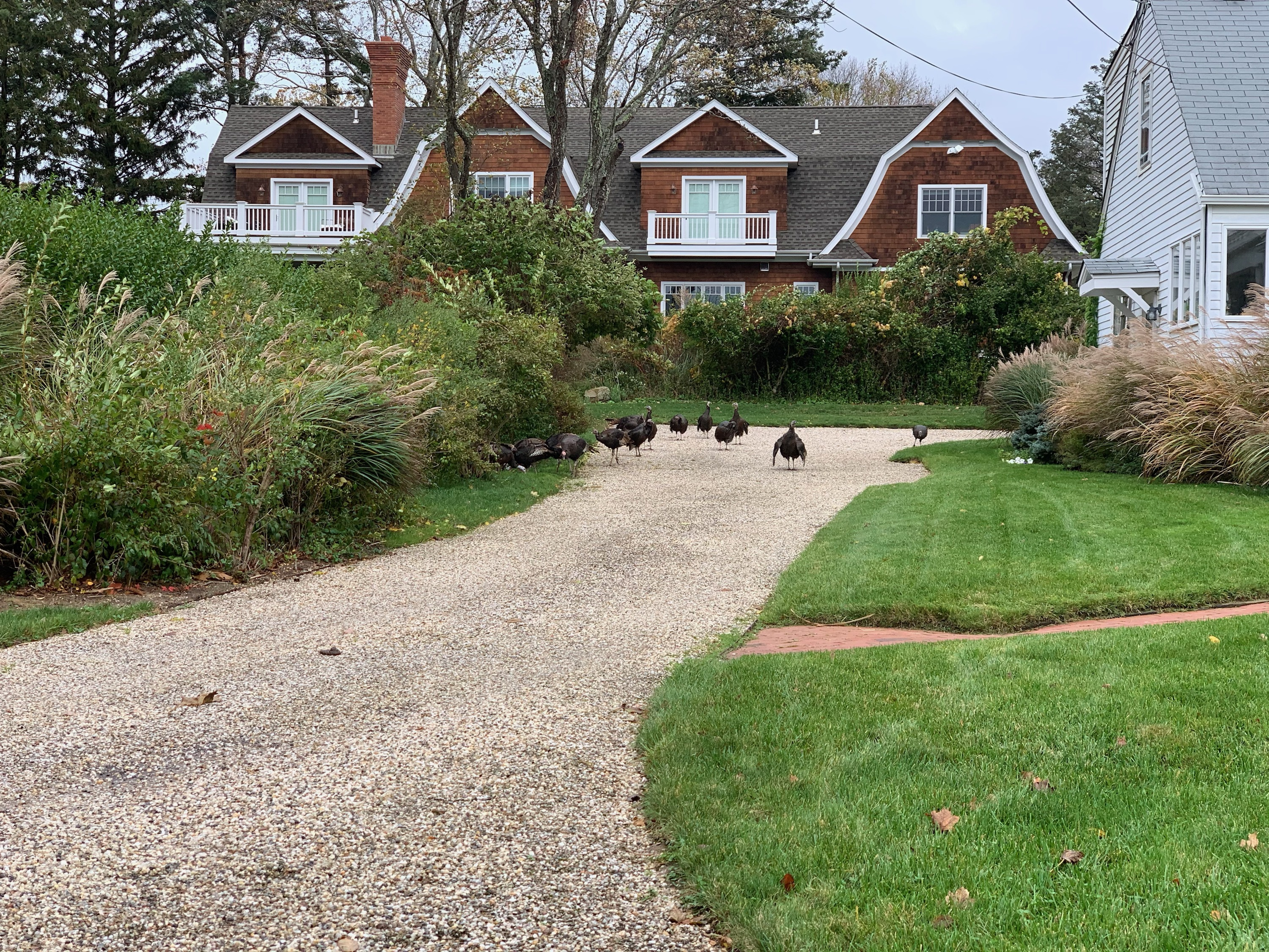 A flock of wild turkeys at a residence in North Haven.