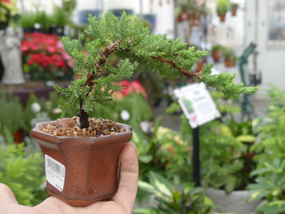 Another red cedar but in a different size pot and with a differing conformation. Again, a good bonsai to start with and maybe learn with, but for $19 you should have limited expectations. ANDREW MESSINGER
