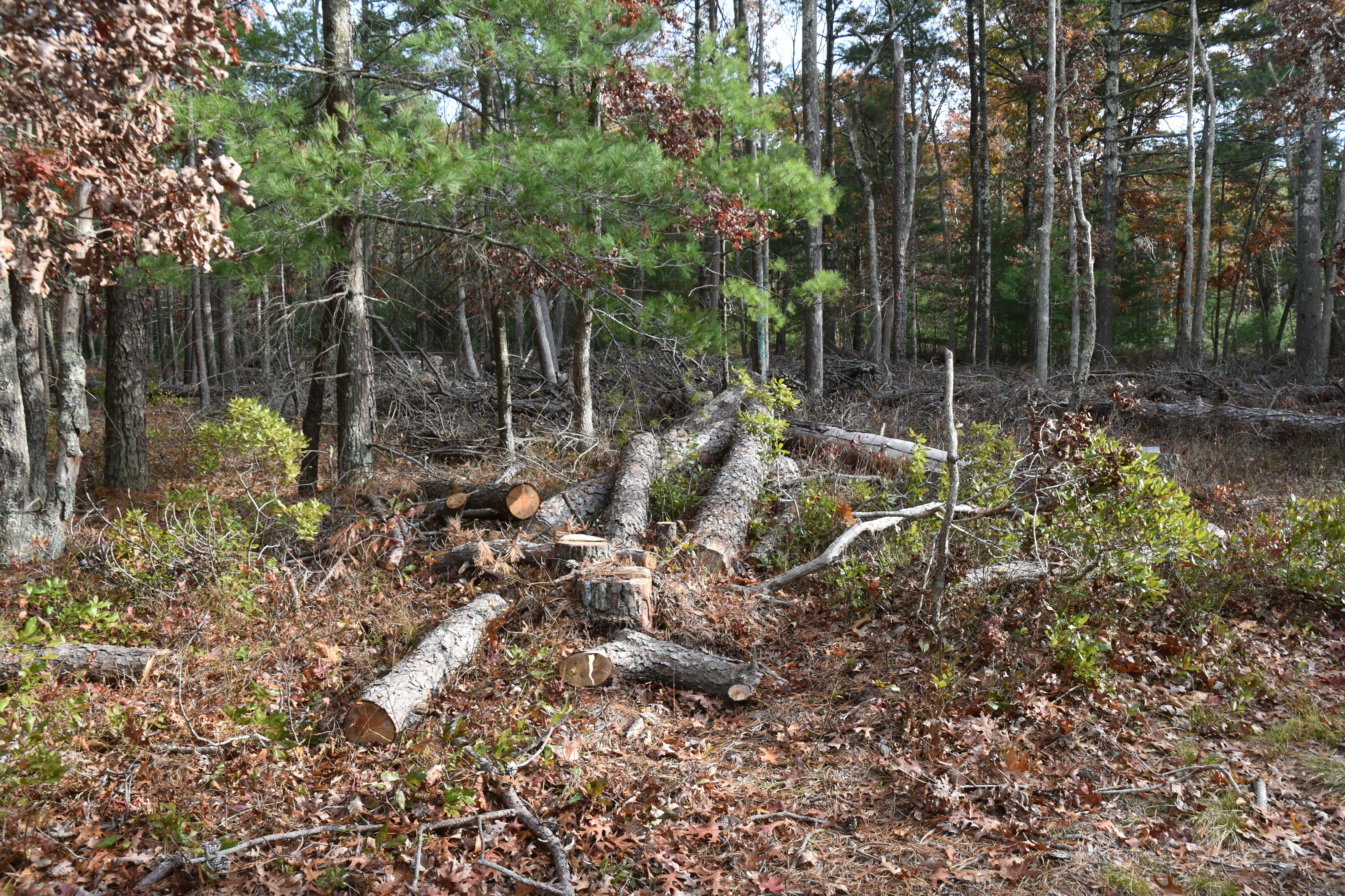 Trees that were cut down two years ago because they had been infested with southern pine beetles remain at 185 Swamp Road in Northwest Woods, East Hampton, prompting the owner to file suit claiming her property has been devalued.