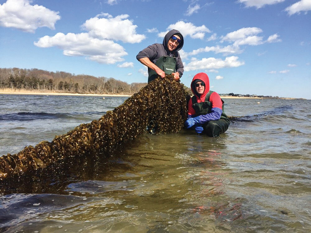 Stony Brook University scientist, Mike Doall, and oyster farmer, Paul McCormick, with kelp grown on the Great Gunn oyster farm this spring.