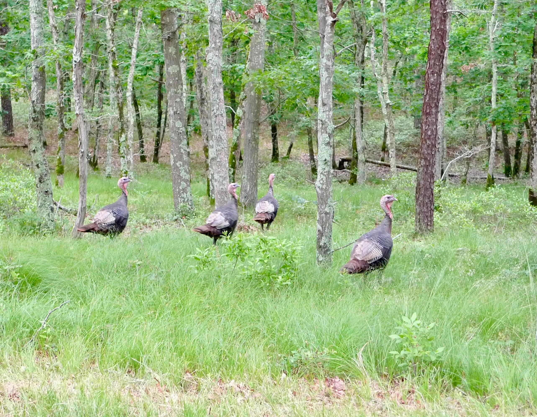Turkeys found roaming on Wainscott Harbor Road.