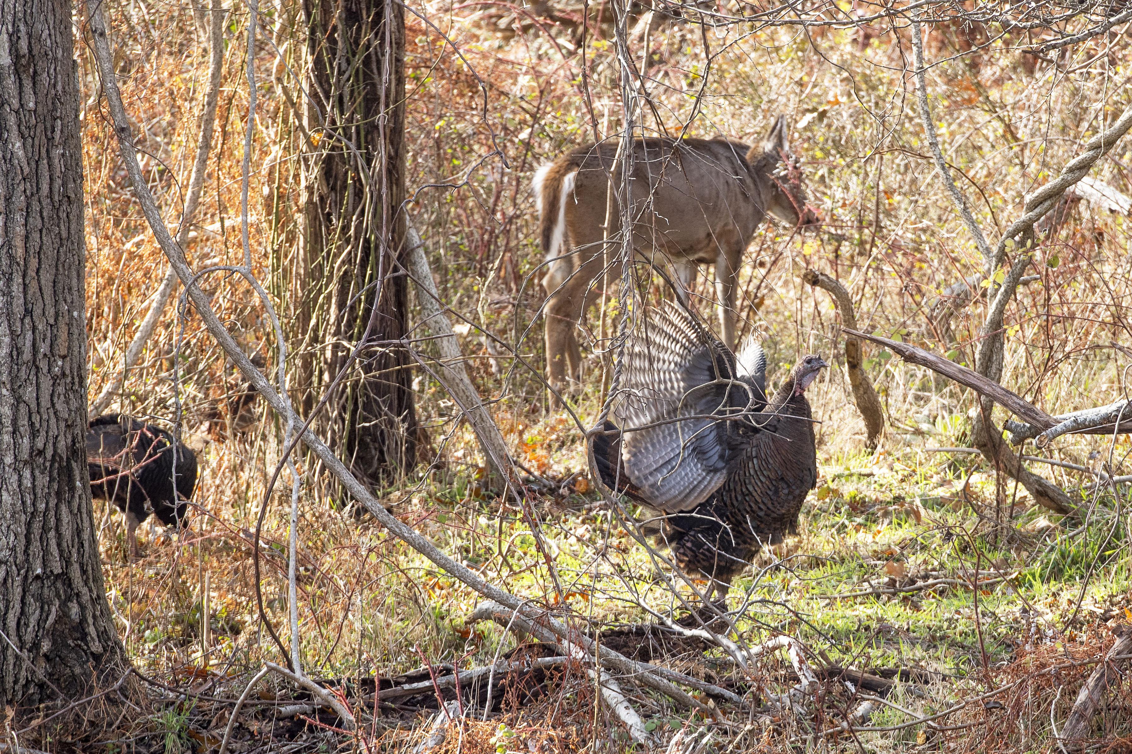 Wild turkeys feed alongside a deer at the Morton Wildlife Refuge on Monday MICHAEL HELLER