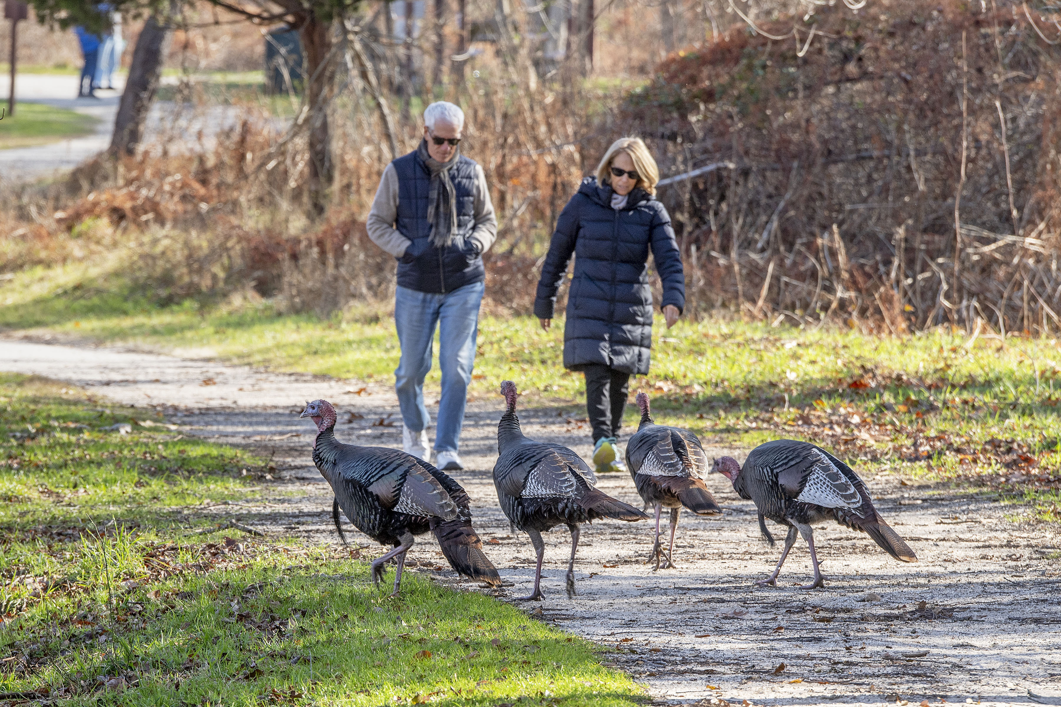 Wild turkeys at the Morton Wildlife Refuge on Monday.  MICHAEL HELLER