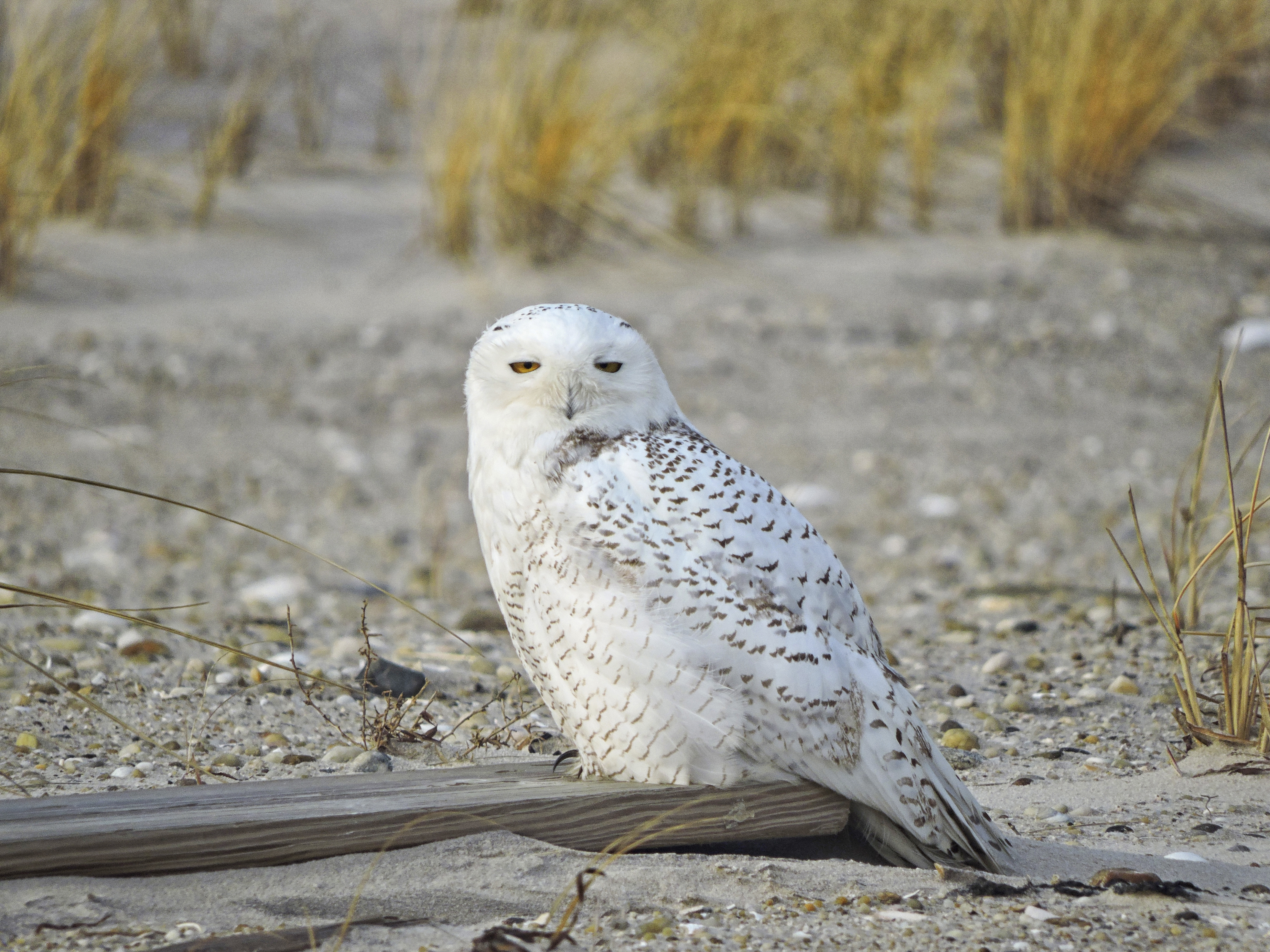 Birders are on the lookout for this regal arctic visitor this month.