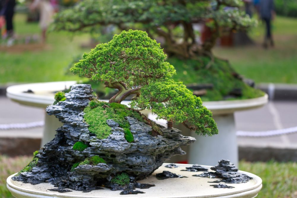 Traditional bonsai are kept outdoors though protected. They need ongoing care but show imperceptible changes from year to year even though they can be hundreds of years old. A project for a lifetime, and then some. QUANG NGUYEN VINH