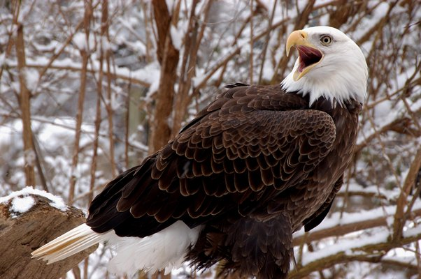A captive adult bald eagle at the Elmwood Park Zoo in Pennsylvania.  COURTESY WILLIAM KONSTANT