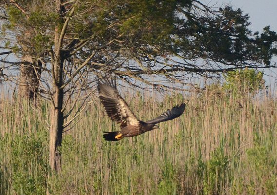 A fledgling immature bald eagle from a nest on the William Floyd Estate.  COURTESY WILLIAM KONSTANT