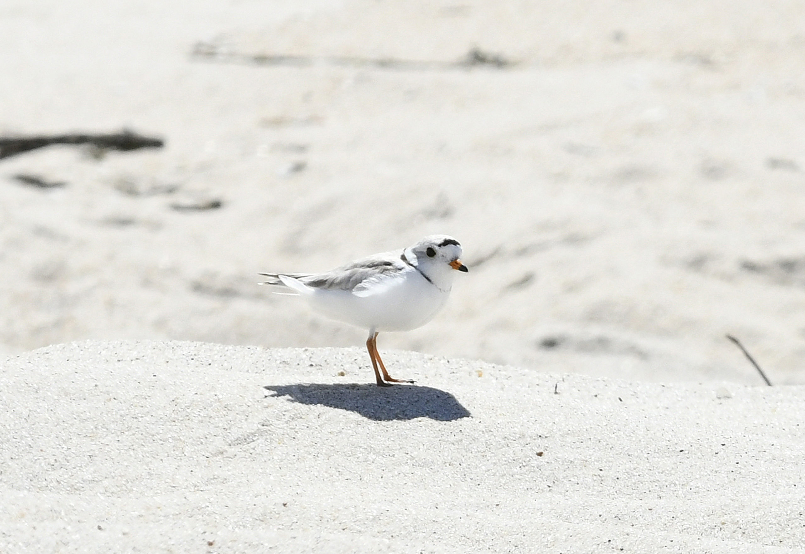 "Birds Might Cancel Camp Plans June 20 -- Suffolk County officials are notifying campers with reservations at Shinnecock East County Park that 19 of the sites could be closed soon if endangered piping plovers spotted at a nearby beach in Southampton Village, known as the Picnic Area, have chicks. In a letter sent out to the campers last week, Phil Berdolt, the county parks commissioner, said campsites 85 through 103 may be closed in the coming weeks ""if and when the plover chicks hatch."" He said the area where the sites are located, along the oceanfront, has not yet been closed, and if it does end up closing, the Parks Department would do its best to open it back up as soon as possible."