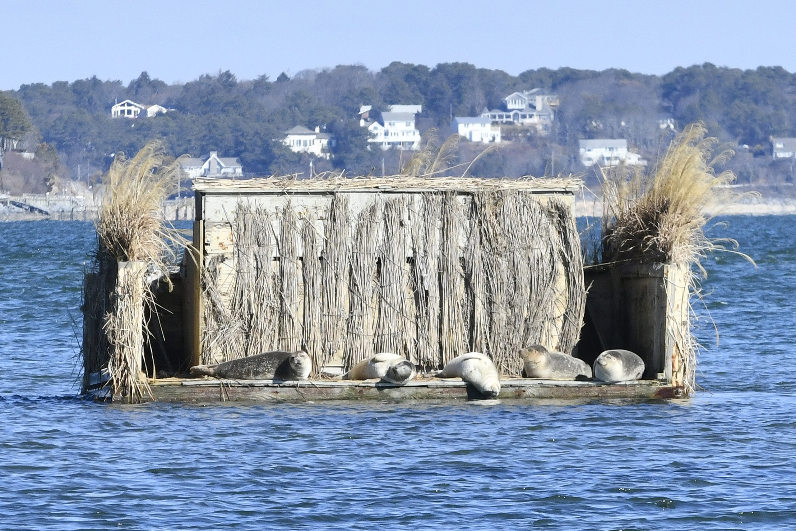 The Sunny Side Of The Blind February 28 -- Harbor seals take advantage of a sunny day by basking on a duck blind in Shinnecock Bay in Hampton Bays.