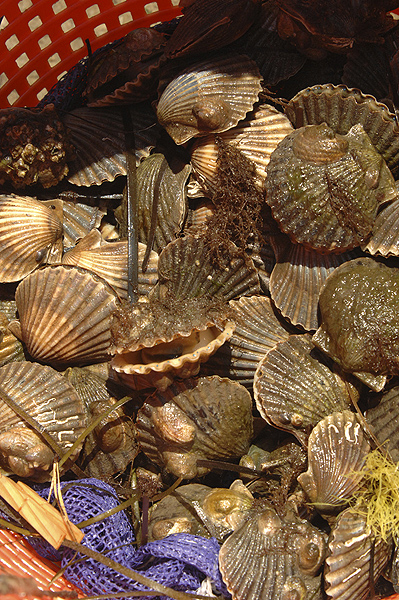 This year's scallop harvest my not be a good one due to Red Tide.  DANA SHAW
