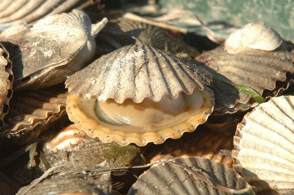 the forecast for scallops looks good this year.  DANA SHAW