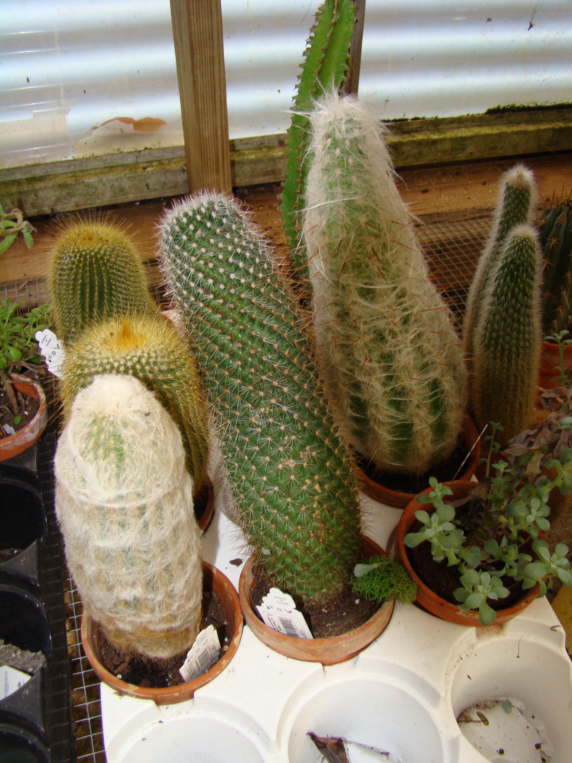 Local garden centers have several varieties of cacti to choose from. There are seven varieties here. The lower right is a succulent, but not a cacti. These are all in small clay pots and would make great holiday gifts (careful wrapping) or collection additions.
