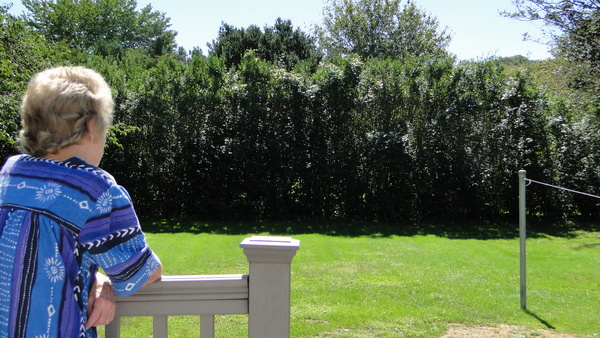 Mary Kosciusko says the hedge that abuts her Anns Lane home backyard has not been trimmed in about five years. COLLEEN REYNOLDS