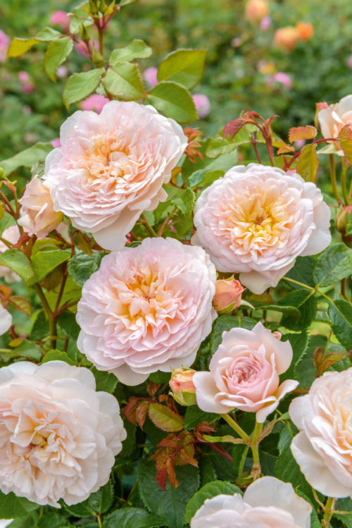 """Though David Austin passed away in 2018, we will be fortunate to have his roses and new introductions into the next decade. This English Rose, Emily Bronte, is one of Austin's 2020 introductions growing 4 feet tall and nearly as wide, with each flower having up to 100 petals. It's named after the English author of """"Wuthering Heights."""""""