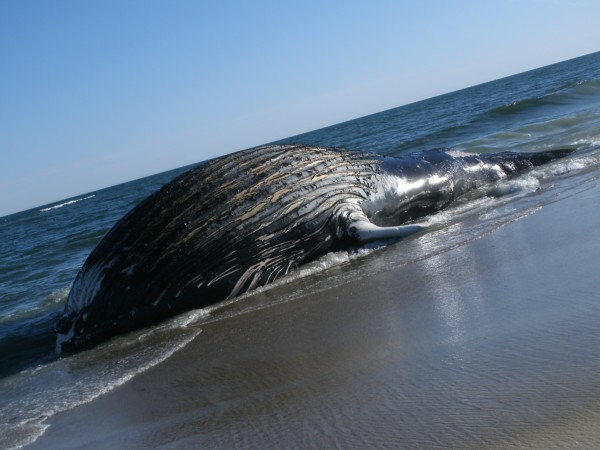 A whale washed up off Dune Road near Triton Lane in East Quogue on Wednesday