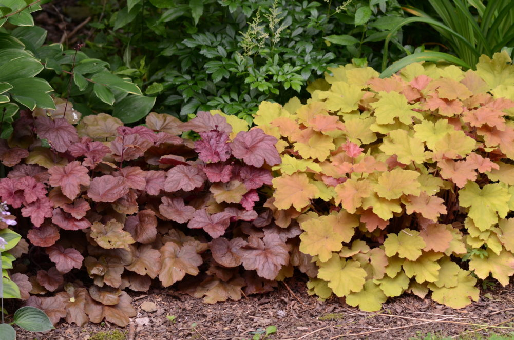 """Heuchera """"Beaujolais"""" (left) and """"Caramel"""" (right) are my favorite Heuchera color combinations. Both do well in light or high shade and will burn in full sun. Both are relatively hardy but expect to make some replacements after two to three years."""