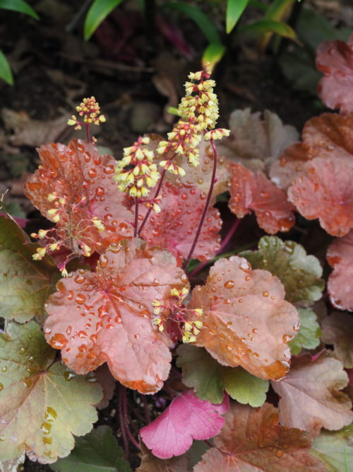"""Heuchera """"Blondie Little Cutie"""" was an introduction of the twenty-teens. It's proven to be reliably hardy, compact and is one of the few Heucheras to have attractive yellow flowers in the summer. It makes a great edger."""
