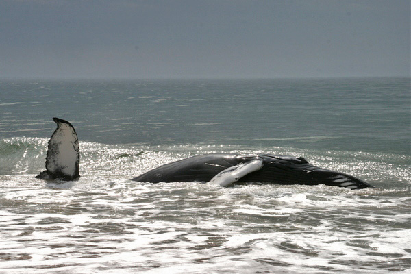 explains the process of euthanizing the whale.<br></noscript>Photo by Erin Geismar