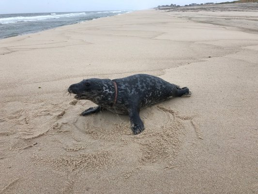 The Riverhead Foundation for Marine Research & Preservation is asking for the public's help in locating a seal pup.