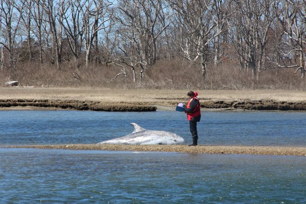 The Riverhead Foundation for Marine Research and Preservation rescued a stranded Risso's dolphin at Louse Point on April 1. COURTESY RIVERHEAD FOUNDATION FOR MARINE PRESERVATION