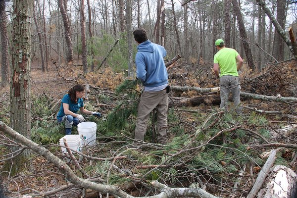 Members of the East Hampton Town Land Management Department picking up pitch pine cones from the Edward's Hole Nature Preserve