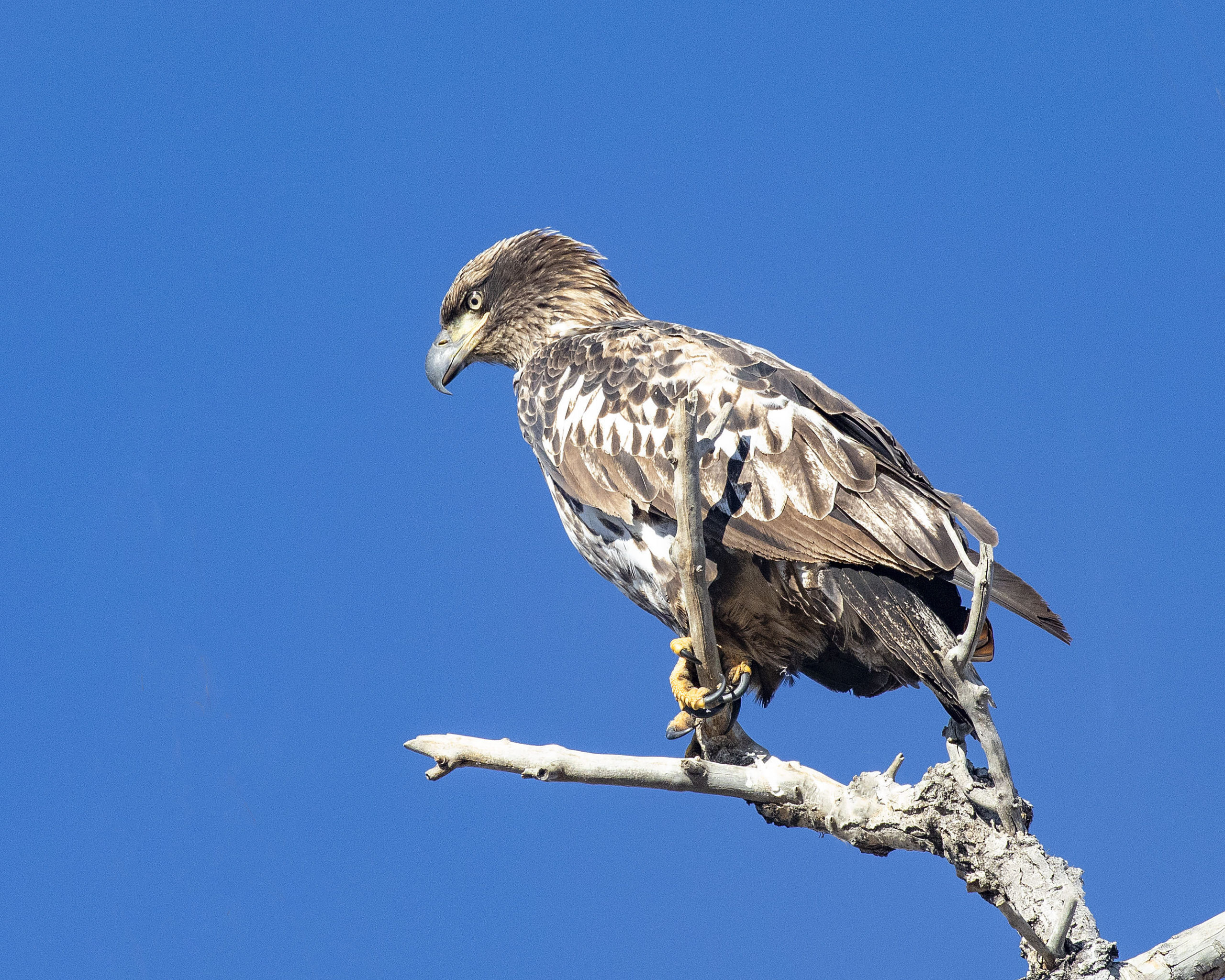 The juvenile bald eagle has a darker (blackish) bill and cere, and extensive white on its body, while the golden does not.