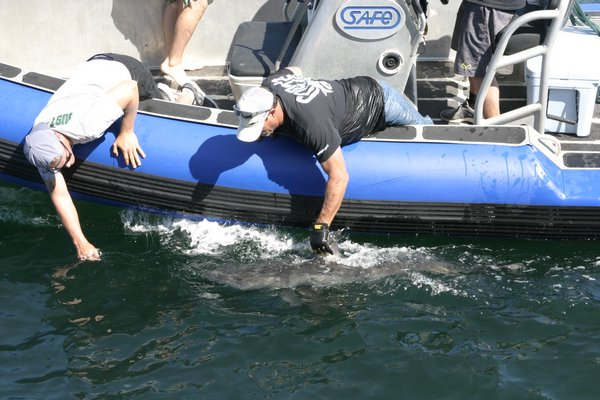 The crew and scientists of the Ocearch caught a juvenile white shark on Thursday morning