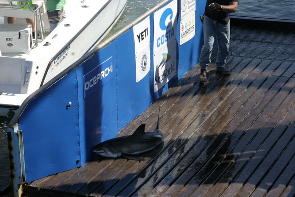 The crew and scientists of Ocearch caught a juvenile white shark on Thursday morning