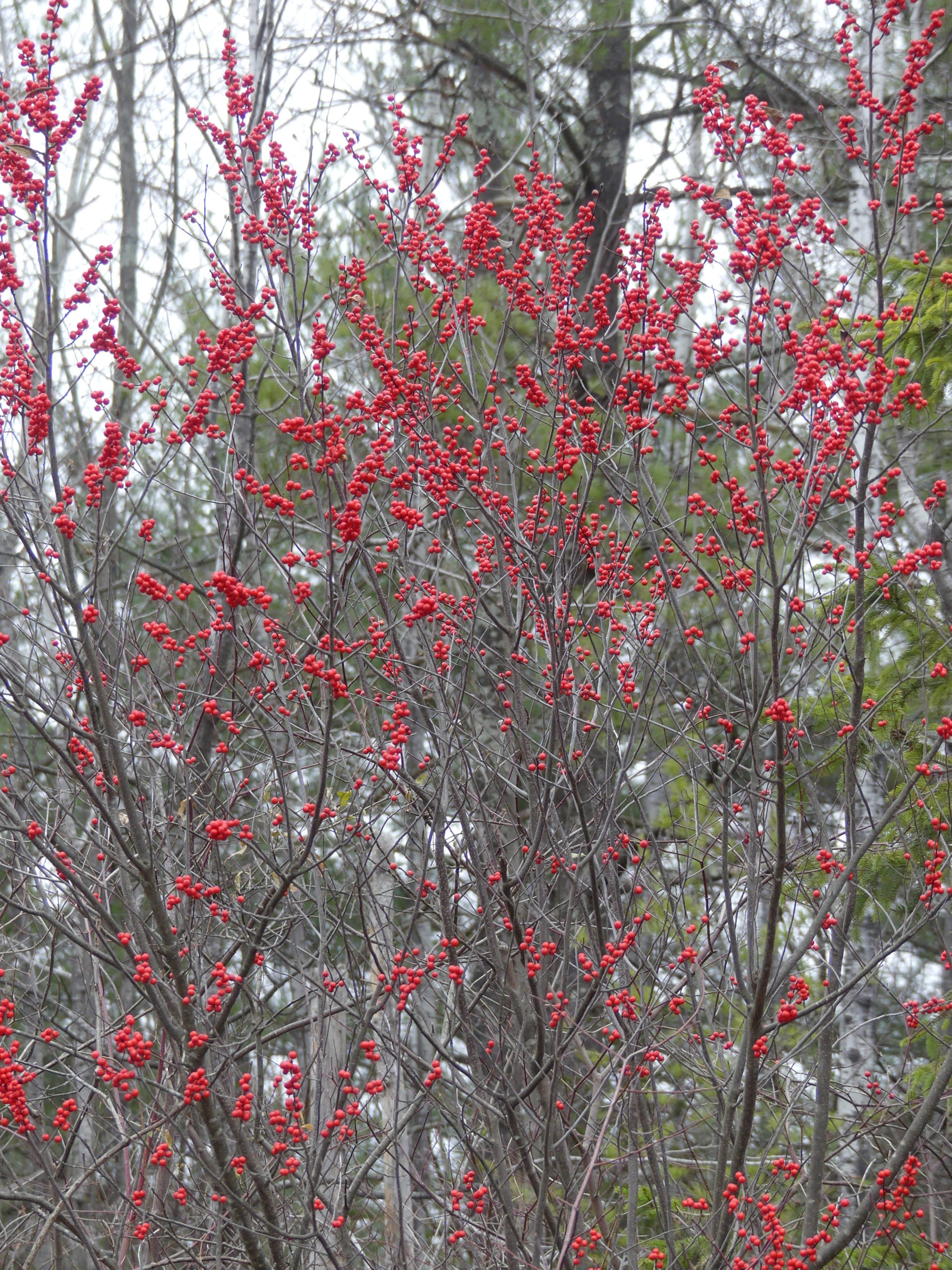 The native Ilex verticillata, or common winterberry, can be confused with the bittersweet, but the winterberry's fruits are a bright red and born on stems, not vines. This shrub or small tree can grow up to 14 feet tall. The winterberry prefers wet soils while the bittersweet isn't that choosy. Both live at the edge of the woods.