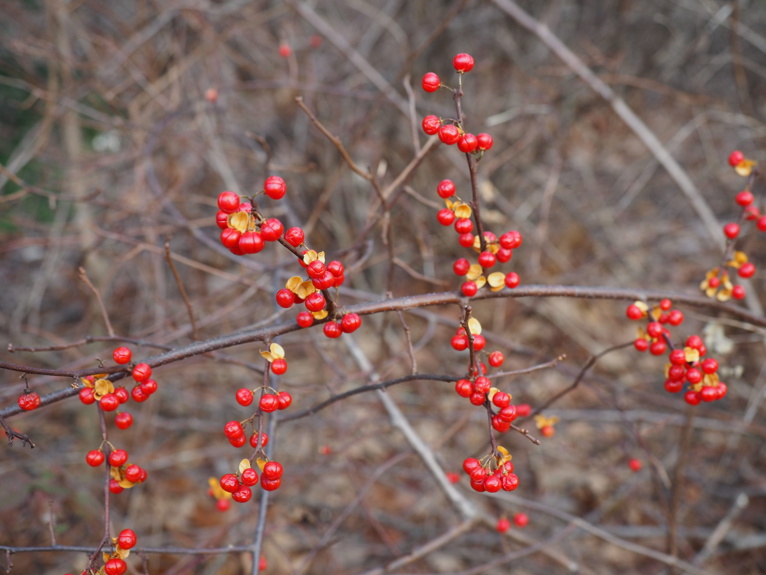 Other than the long, woody vine, one clear way to know you have bittersweet is that the fruits have a calyx, or papery sheath, that opens as the berry ripens. Winterberry does not have this feature.