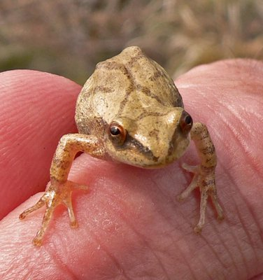 Spring peepers are calling from their breeding ponds. MIKE BOTTINI
