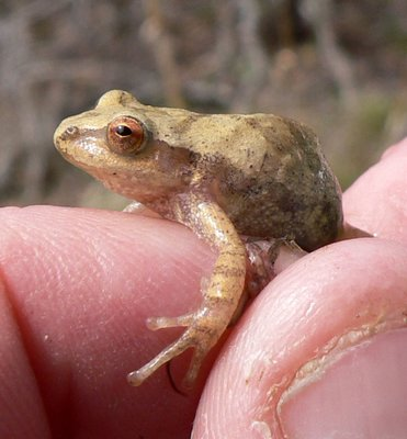 The spring peeper (shown here) and wood frog can partially freeze and stop their breathing and heart rate for the winter.