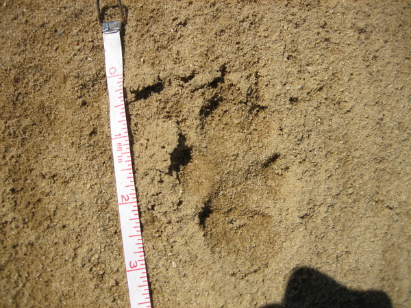 Nail or claw marks can be seen in what appears to be a three-inch pawprint. COURTESY DEC