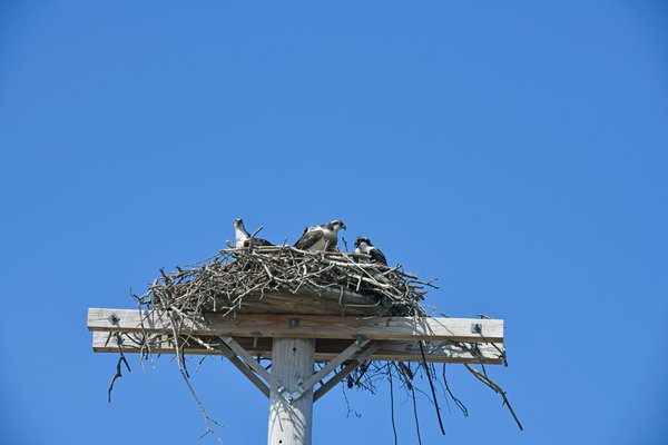 An osprey family in Sag Harbor.  DANA SHAW