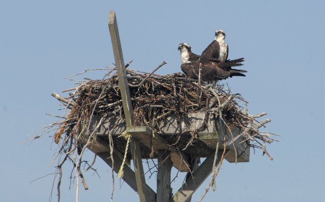 Osprey are back! Join local conservationists this month to help repair their damaged nesting structures.  DANA SHAW