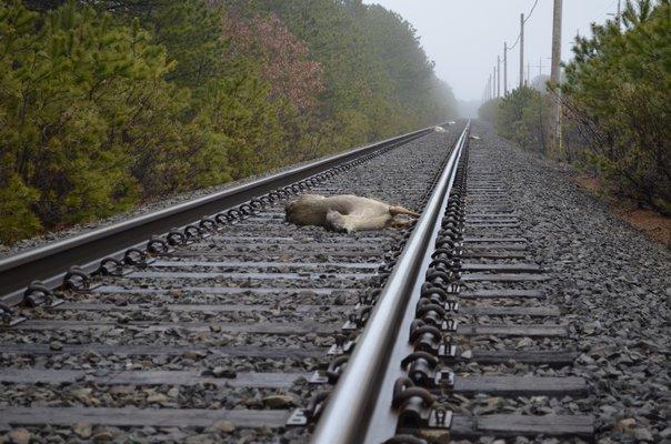 Four dead deer were found on the rail road tracks in East Quogue last week. ALEXA GORMAN