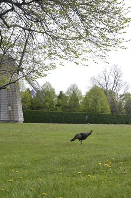 The Water Mill turkey at its stomping grounds near the windmill. BY SHAYE WEAVER